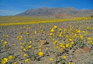 20160219 Fields of Desert Gold